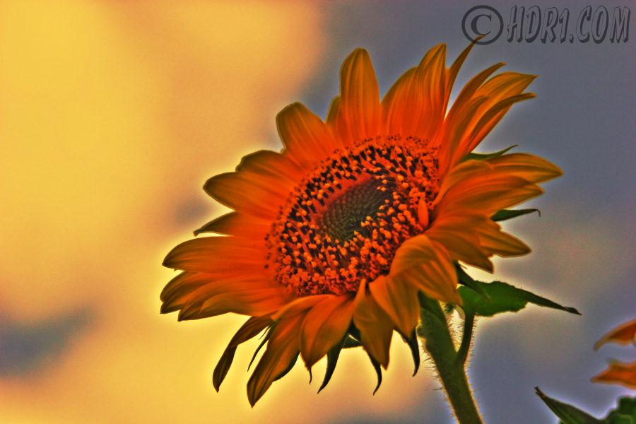 sunflower hdr flower photography luzern switzerland