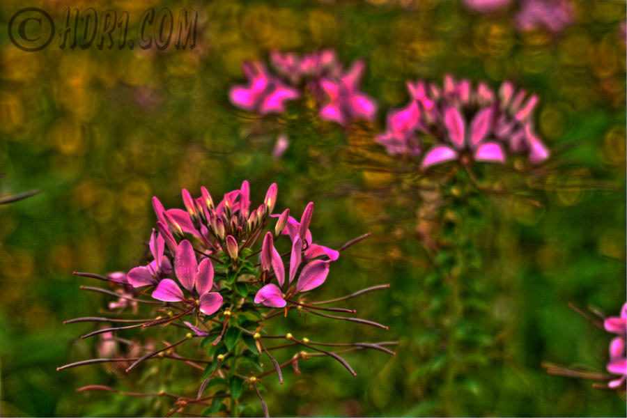 luzern switzerland purple flowers hdr photography