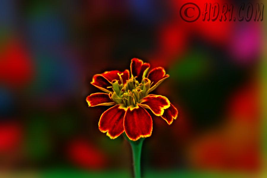 luzern switzerland red yellow flower hdr photography